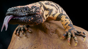 Type_2_Nation_shutterstock_122625310_Gila_Monster_Secret_Weapon_300px